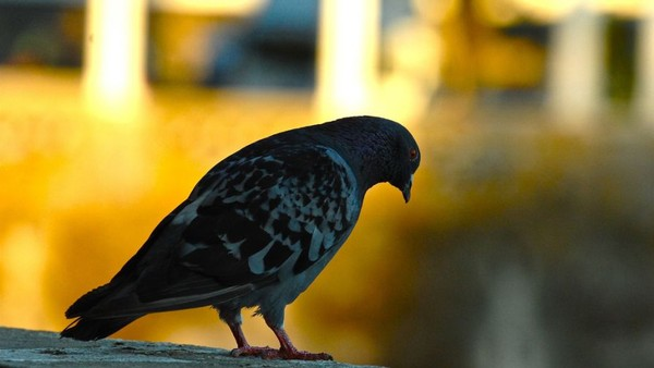 Google's Pigeon is Vermin to Local Businesses